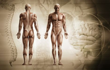 Human anatomy image template