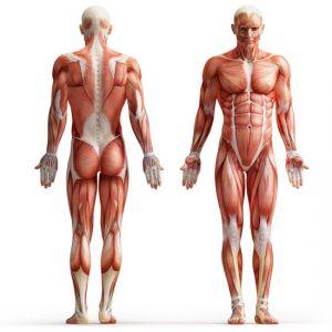 Human anatomy image