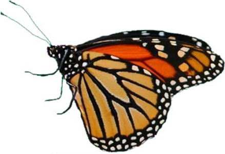 Photoshop butterfly template