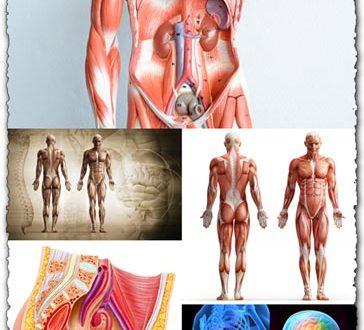 Human anatomy images