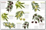 Olive branch vector cards